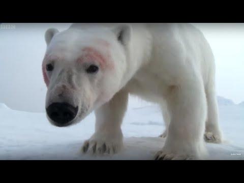 Adorable Polar Bears Play With Spy Cam | BBC Earth