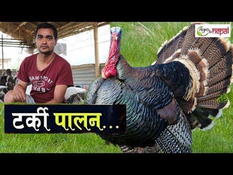 बोइलर छोडेर टर्की पालन ।। Turkey Bird Farming in Nepal ।। Agro Tv Nepal