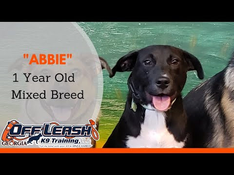 Abbie | 1 Year Old Mixed Breed | Off Leash K9 Training, Athens Georgia | Remote Collar Training