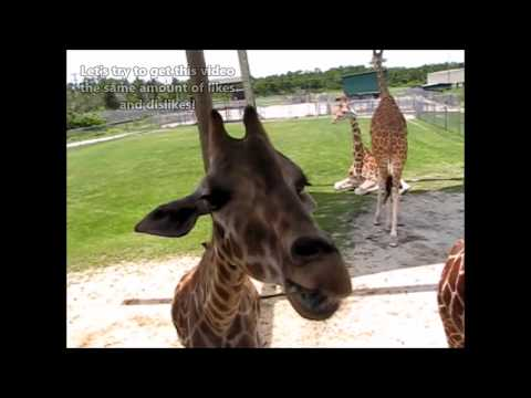 Is April the Giraffe a Fake?  Click like for REAL!