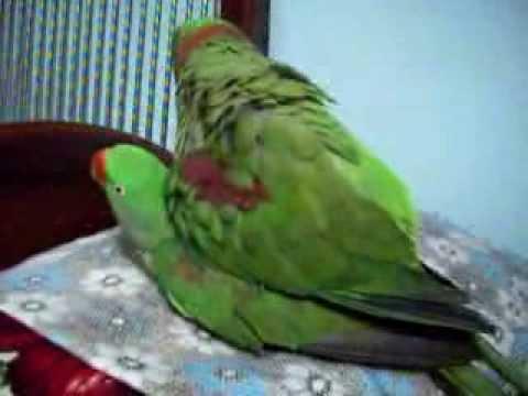 Nadeem Parrot alexandrine parakeet raa tota mating thumbnail