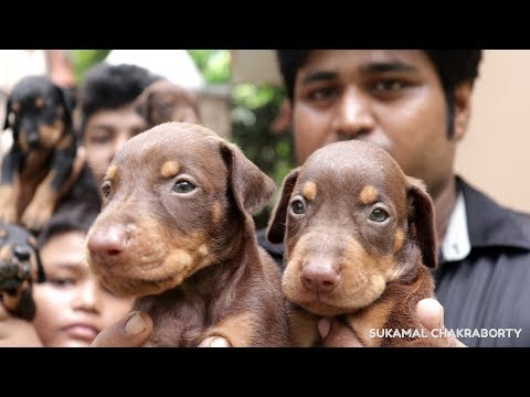 DOBERMAN PUPPIES SALE IN KOLKATA