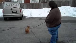 Dog Training - Puggle - Staten Island - NY