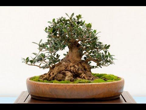 Black olive bonsai care youtube for Olive plant care