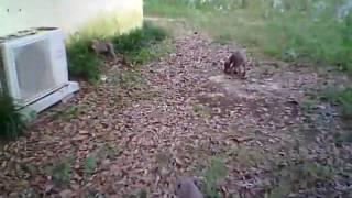 Doberman Puppies In Tallahassee Florida. 5