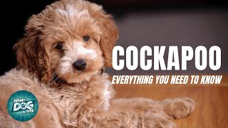 Cockapoo Dog Breed Guide | Dogs 101  Cockapoo