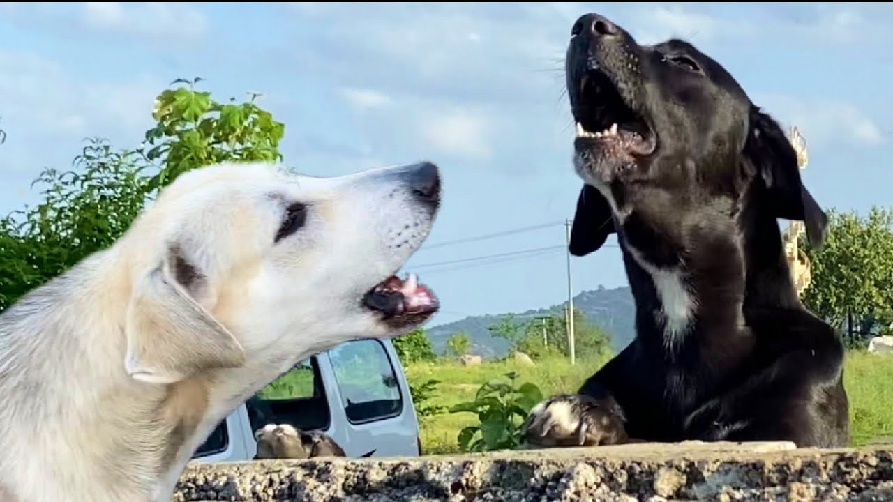 Dogs Arguing,Funny Conversation Between Dogs || shashimourya