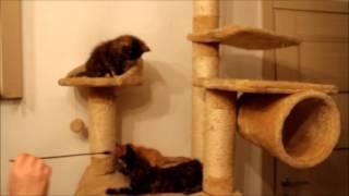 Котята Мейн кун на игровом комплексе, IV часть, GrandeGatto.ru