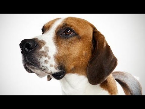 Amazing Facts on English Foxhound | In Hindi | Dog Facts | Animal Channel Hindi