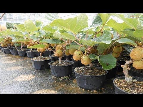 WOW! Amazing New Agriculture Technology - Kiwi Fruit