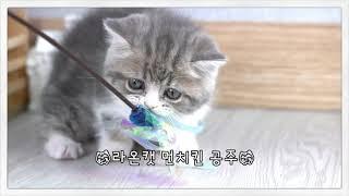 고양이분양 라온캣 먼치킨 공주 라일락 블루바이