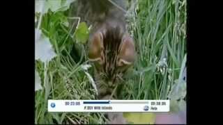 Фильм дикие кошки - дикие кошки мама и детки выживают в дикой природе