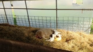 Lambing Season on the Farm