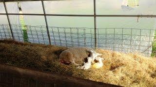 Lambing Season on the Farm