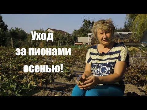 Пионы. Уход за садовыми цветами осенью! / Сад Ворошиловой