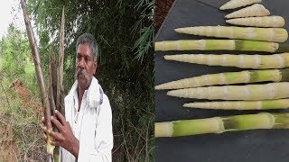 HOW TO COLLECT BAMBOO SHOOTS - SURVIVAL FOOD