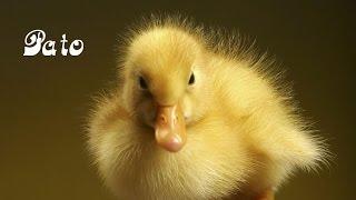 SONIDOS DE ANIMALES para niños y bebes 3D (Pollito tito)