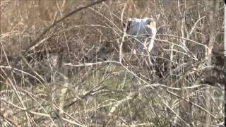 Рембо и 2 куры фазана