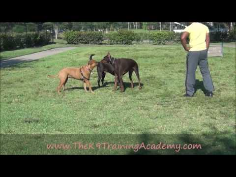 Doberman with Advance Obedience - The K9 Training Academy - RED