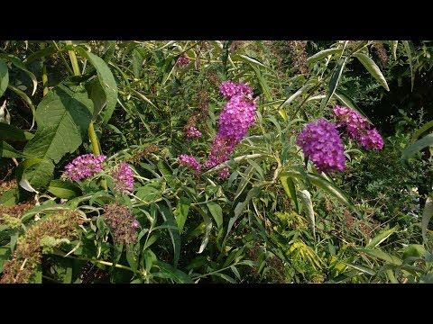Albero delle Farfalle (Buddleja)