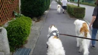 2歳7ヶ月メス。カイくん、ユリさんと一緒にお散歩しました。途中、カ...