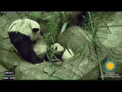 Watch the National Zoo's New Panda Cub Take Her First Steps