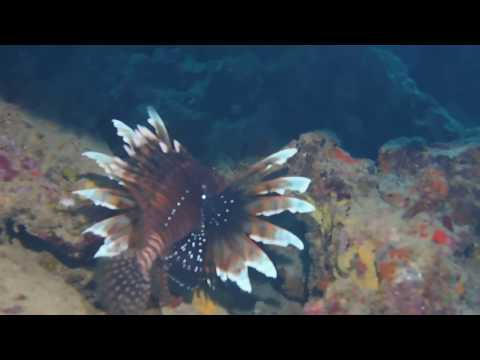 A Lion fish in St.Lucia