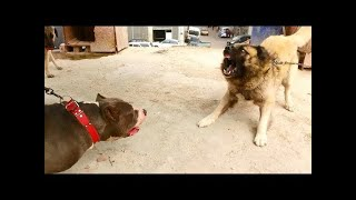 AMERICAN BULLY XL VS KANGAL THE KING AND THE KING HAVE HIT THE KANGAL!