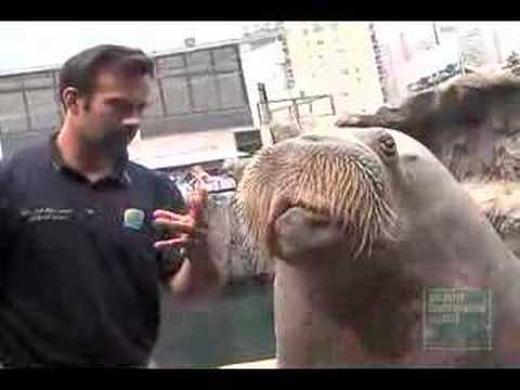 NY Aquarium Walrus talks, chuckles and whistles - Go to www.nyaquarium.com to find out more about our talent Walruses and their trainers.