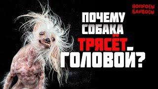 Почему собака трясет головой? Инородное тело в ушах.