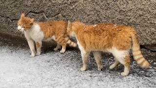 Cute funny ginger cats talking loudly, meowing and sort things out