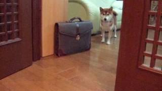 お散歩に行きたくない訳を話す柴犬 Shibainu Talking thumbnail