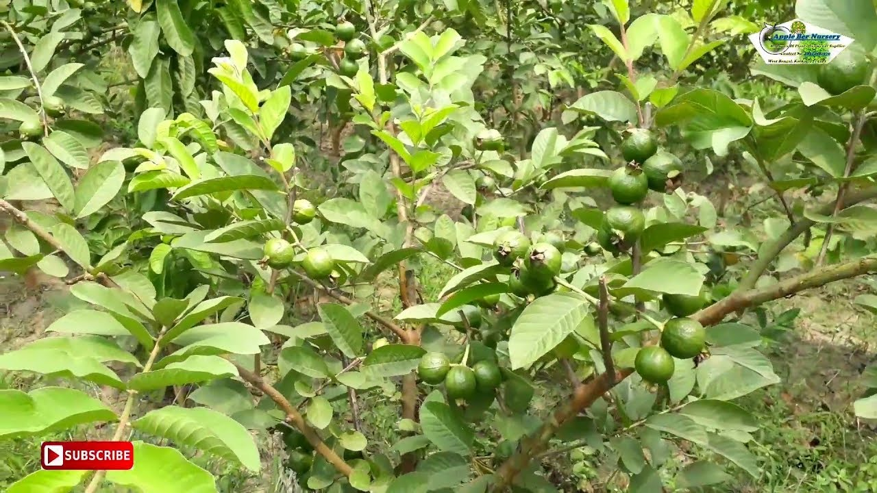 Taiwan SeedLess Guava Plantation in Successfully    HelpLine No:08514981670