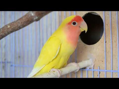 Неразлучники попугаи в домашних условиях