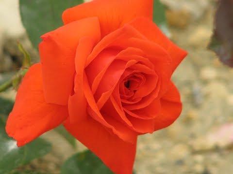 Обрезка плетистых  роз, видео 1,  в форме большого куста, Rozarium.biz питомник роз Полины Козловой