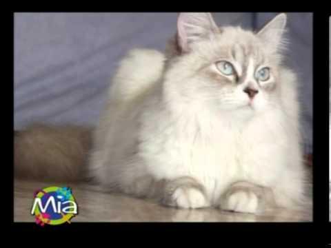 Il Gatto Siberiano Ospite A Mia Mondo Intorno Agli Animali Youtube