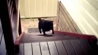 Собака очень смешно поднимается по лестнице.mp4