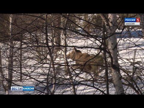 От вымирания самого крупного копытного может защитить Красная книга республики. 27.02.2017