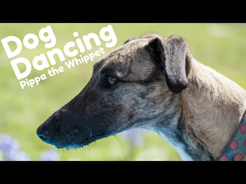 Whippet doing Dog Dancing (The Cure - Purple Haze) - Fluffy Tufts