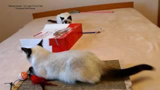 Как тайские котята Калиостро и Изабель играли с пакетом! Тайские кошки - это чудо! Funny Cats