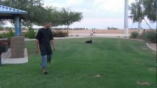 Dog Training, - Off Leash Obedience  - Doberman Pinscher - Martian