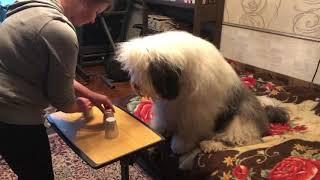 Игра в напёрстки с собакой
