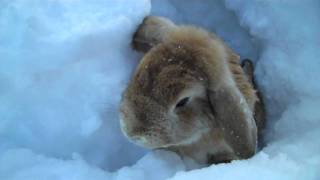 Rabbits playing in the snow!