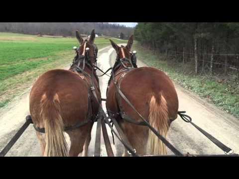 Draft mule team for sale