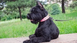 Giant Schnauzer, Bull Terrier And Doberman Wear Bold Leather Dog Collar