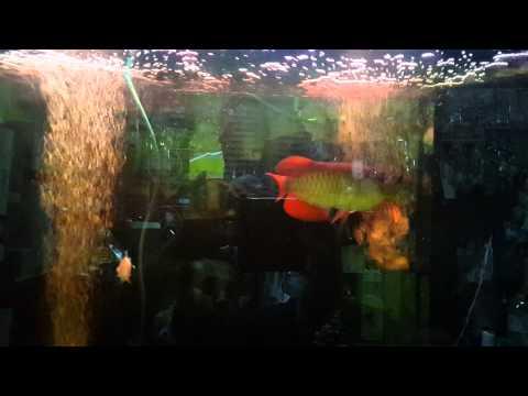 ปลามังกรแดง ฟาร์มBUMI 9นิ้ว หัวspoonhead