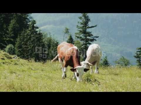 ORGANIC FARMING TWO COWS GRAZE ON A RURAL MOUNTAIN HILL IN THE ALPS AUSTRIA EY2BSOY E