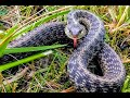 Garter snake (Thamnophis sirtalis) catch & release - aggressive wild snake - Herpetology