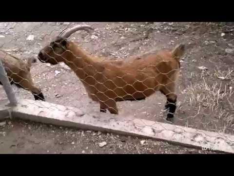 Горный козел