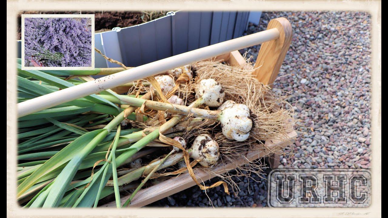 Best Garlic Harvest Yet, Drying Lavender, And Update Videos